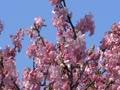 河津桜に集まるメジロ